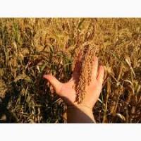 Просо насіння від виробника