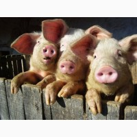 Купляю свиней
