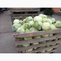 Продам капусту сорт Лексикон вес от1.5 до 4.00 кг