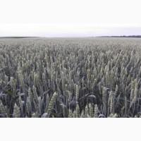 Семена озимой пшеницы Авеню, Балетка, Шестопавловка и др. - с/эл, эл, 1реп