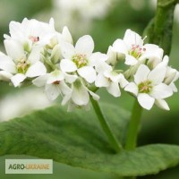 Цветы гречихи 30 грамм