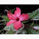 Продам гибискус комнатный пестролистный - гибискус Купера (китайская роза)