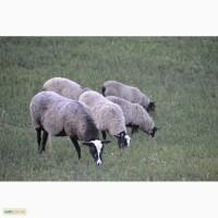 Племенной баран и молодые овечки романовской породы на племя