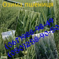 Насіння озимої пшениці Дарунок Поділля (БН, еліта, СН-1)
