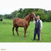 Продам коней лошицю і жеребця