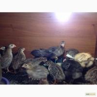 Цыплята цесарки бройлерной
