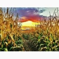 Кукуруза с влагой