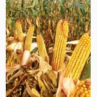 Гібрид кукурудзи МТ261(Dow Seeds)