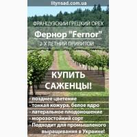 Французский Грецкий орех ФЕРНОР Fernor 2-х летний, привитой