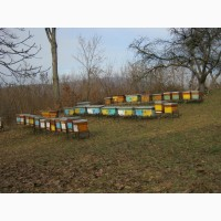 Продам бджолопакети карпатки