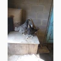 Продам ціплята породи джерзійського гіганта