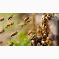 Продам бджолосім#039;ї Підволочиськ