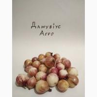 Посевной материал чеснока, однозубка, Любаша