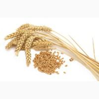 Продам зерно: пшениця, ячмінь, овес, з під комбайна