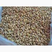 Продам пшеницу 3т