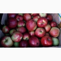 Сортові Яблука