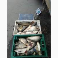 Принимаем пред новогодние заказы на продажу и поставку живой рыбы: Карась, щука, толстолоб