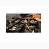 Продам живую рыбу: Сом, амур, карп, щука, толстолобик, карась