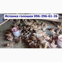 Месячные подрощенные цыплята Испанка голошея.сезон 2019г, Одесса