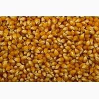 Закупаем пшеницу 6 класс и кукурузу с повышенной зерновой
