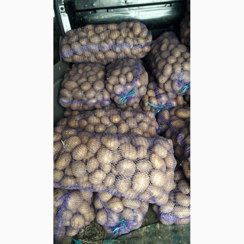 Продам товарну картоплю червоних і білих сортів, Волынская обл.