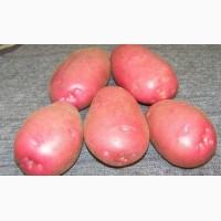 Продам картофель Бела роса