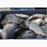 Продам живую рыбу малька. Щука, толстолоб, линя карася