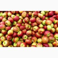 Купим яблоки на переработку