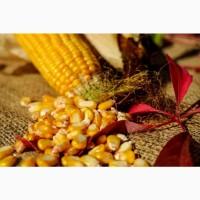 Куплю кукурузу много и за наличный расчет