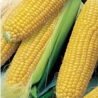 Семена кукурузы Днепровский 181 ФАО 180 высокая влагоотдача урожая 2019
