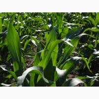 Закупаем кукурузу опт согласно ДСТУ