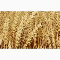 Продам посевной материал озимой пшеницы сорт Северодонецкая юбилейная (супер элита)