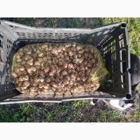 Продажа улитки Helix Aspersa Müller и Maxima урожай 2020 2-го класса