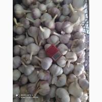 Продам чеснок первой репродукции сорта Любаша