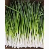 Зелена цибуля, перо. Зелёный лук, лук на перо