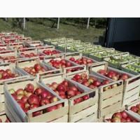 Продажа яблока от производителя