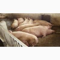 Закупаем вибраковку свиноматок