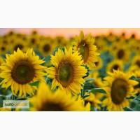 Насіння гібридів соняшнику Українське сонечко (90–95 дн)
