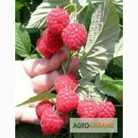 Продаём саженцы крупноплодной малины Глен Емпл (Глен Ампл) (Glen Ample Raspberry)