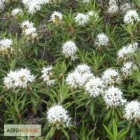 Багульник болотный (трава) 50 грамм