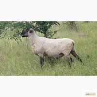 Купить шерсть овечью, овцы, барана