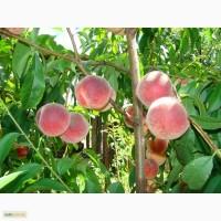 Саженцы плодовых деревьев ( Купить саженцы плодовых )