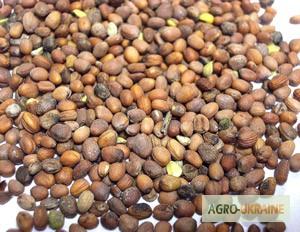 Продам семена РЕДЬКИ масличной. Цена договорная, Сумская обл.