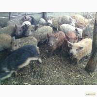 Продам свиней породи мангал і венгерська мангалиця