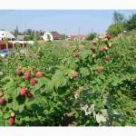 Малина элитных сортов Raspberries