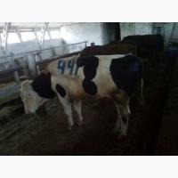 Продам говядину живьем корова и бык на экспорт