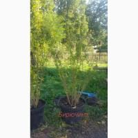 Продаем саженцы бирючины и др.растений