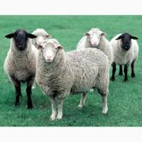 Дорого куплю бараны, овцы