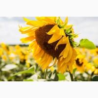 Насіння соняшника гібрид Ясон / Семена подсолнуха Ясон