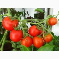 Куплю помидоры отменного качества